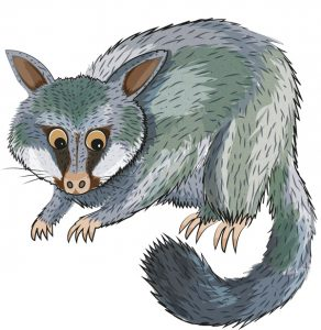 Animal Illustrator - Brush Tailed Possum