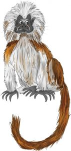 Animal Illustrator - Cotton-top Tamarin Monkey