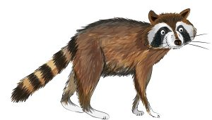 Animal Illustrator - Northern Raccoon
