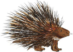 Animal Illustrator - Porcupine